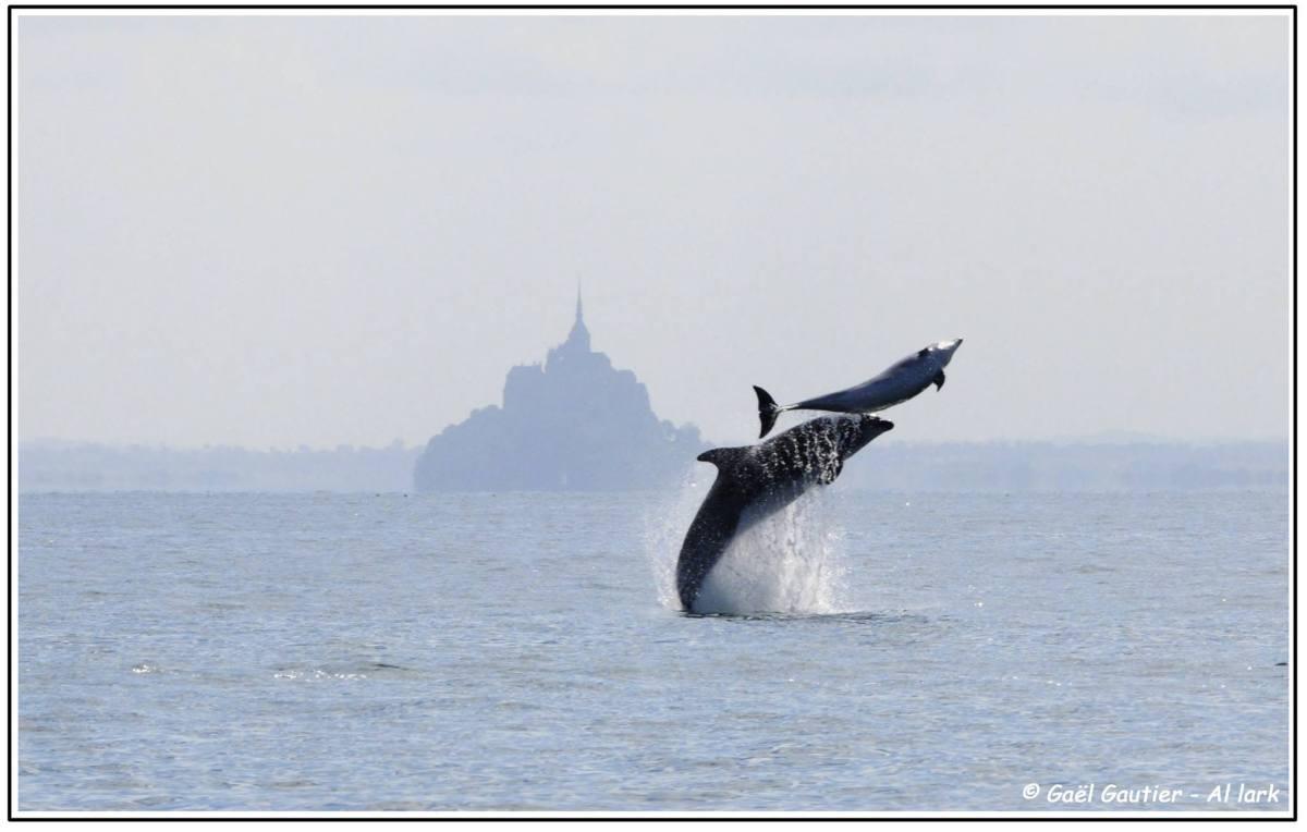 Baie de Saint Malo : Observation desdauphins